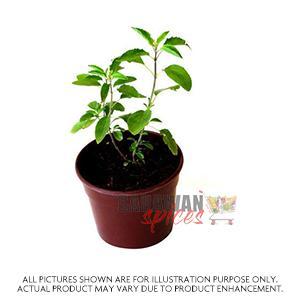Tulsi Plant Small