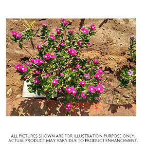 Nithy Kaligame Plant