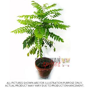 Small Curry Leaves Plant