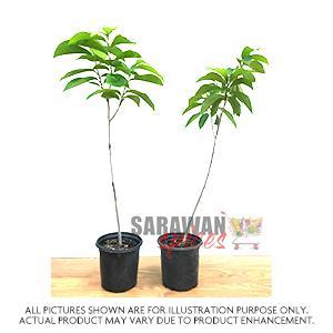 Paw Paw Plant